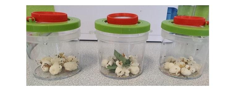 Un élevage de coccinelles en classe …